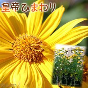 皇帝ひまわり ゴールデンガリバー ( 宿根性木立ヒマワリ ) 9cmポット苗|produce87