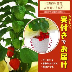 ほおずき ( ホオズキ )5号鉢 カゴ入りラッピング 実付き produce87
