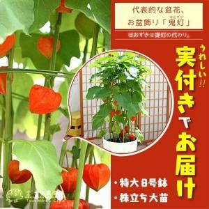 ホオズキ ( 舞風船 ) 送料無料 8号鉢植え 株立ち大苗 ( 特大サイズ ) 実付き produce87