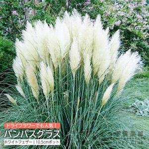 パンパスグラス ホワイトフェザー ( 白花 ) 10.5cmポット苗|produce87