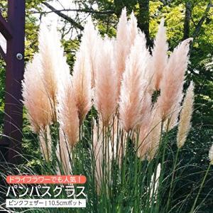 パンパスグラス ピンクフェザー ( ピンク ) 10.5cmポット苗|produce87