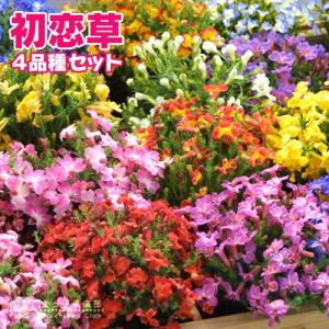 初恋草 ( ハツコイソウ )4品種セット ( レシュノルティア )|produce87