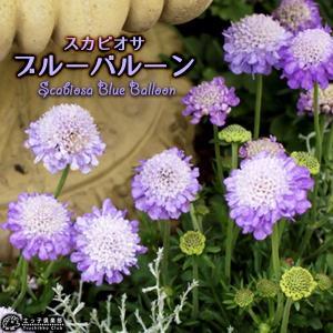 スカビオサ  『ブルーバルーン 』 10.5cmポット苗|produce87