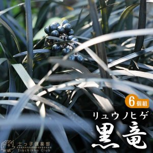 リュウノヒゲ 『 黒竜 ( コクリュ ウ) 』 9cmポット 6個組|produce87