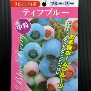 ブルーベリー 『 ティフブルー 』 13.5cmポット苗 (ラビットアイ系:中粒)|produce87