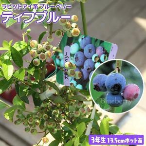 ブルーベリー 『 ティフブルー 』 3年生 13.5cmポット苗|produce87
