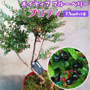 ネイティブブルーベリー 『 プリティ 』 7.5cmポット苗|produce87