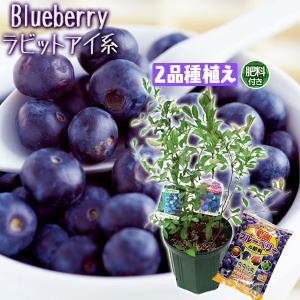 ブルーベリー 『 ラビットアイ系 2品種植え 』 8号スリット鉢 (肥料プレゼント)