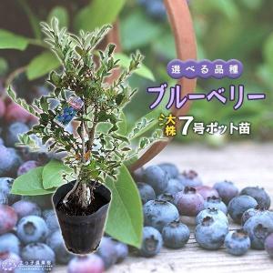 ブルーベリー (5年生) 7号ポット株立ち大苗 (選べる品種)|produce87