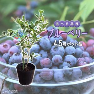 ブルーベリー (3年生) 4.5号ポット苗 (選べる品種)|produce87
