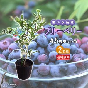 ブルーベリー 2個セット 苗木 (3年生)4.5号ポット苗 送料無料 (選べる品種)|produce87