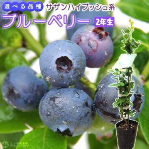ブルーベリー 『サザンハイブッシュ系』 (2年生) 3.5号ポット苗 (選べる品種 )|produce87