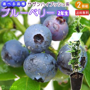 ブルーベリー 2個セット 『 サザンハイブッシュ系 』 (2年生) 3.5号ポット苗 送料無料 (選べる品種)|produce87
