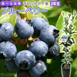 ブルーベリー 『 ラビットアイ系 』 (2年生) 3.5号ポット苗 (選べる品種)|produce87