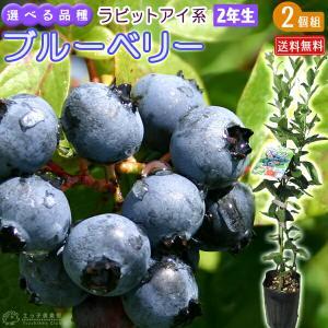 ブルーベリー 2個セット 『 ラビットアイ系 』 (2年生) 3.5号ポット苗 送料無料 (選べる品種)|produce87