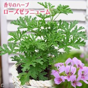 ローズゼラニューム ( ハーブゼラニウム ) 4号鉢植え|produce87