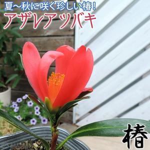 椿 『 アザレアツバキ 』 (四季咲き性) 9cmポット苗 珍種|produce87