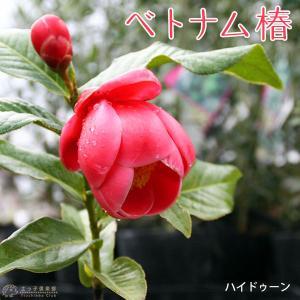 ベトナム椿 『 ハイドゥーンキング 』12cmポット苗 ( 海棠椿 カイドウツバキ )|produce87