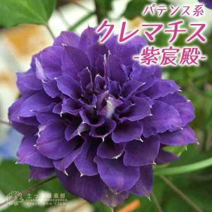 クレマチス 『 紫宸殿 』 パテンス系 ( 早咲き大輪系 )  9cmポット苗|produce87