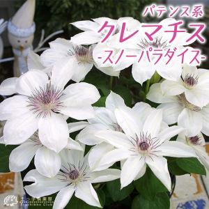 クレマチス 『 スノーパラダイス 』 パテンス系( 早咲き大輪系 ) 9cmポット苗|produce87