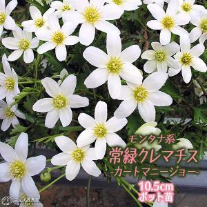 (花芽付き) 常緑クレマチス 『 カートマニージョー 』 2年生 10.5cmポット苗 モンタナ系