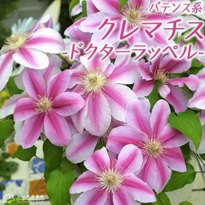クレマチス 『 ドクターラッペル 』 パテンス系( 早咲き大輪系 ) 9cmポット苗|produce87