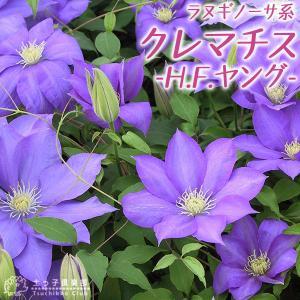 クレマチス 『 H.F.ヤング 』 ラヌギノーサ系 9cmポット苗|produce87