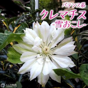 クレマチス 『雪おこし』 パテンス系( 早咲き大輪系 ) 9cmポット苗|produce87