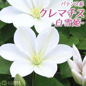 クレマチス 『 白雪姫 』 パテンス系 ( 早咲き大輪系 ) 9cmポット苗|produce87