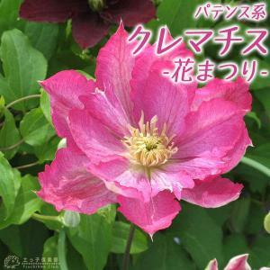 クレマチス 『 花まつり 』 パテンス系 ( 早咲き大輪系 ) 9cmポット苗|produce87