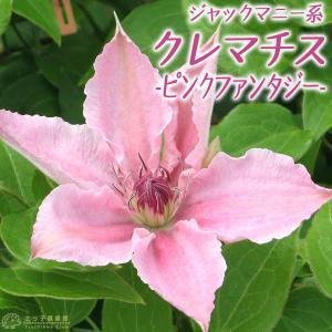 クレマチス 『 ピンクファンタジー 』 ジャックマニー系(遅咲き大輪系) 9cmポット苗|produce87