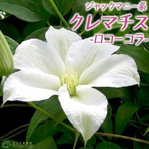 クレマチス 『 ロコーコラ 』 ジャックマニー系 ( 遅咲き大輪系 ) 9cmポット苗|produce87