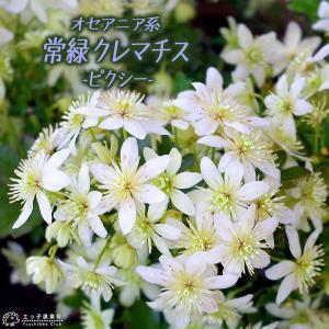 常緑クレマチス 『 ピクシー 』 オセアニア系 9cmポット苗|produce87