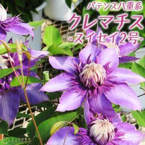 クレマチス 『 スイセイ2号 』 パテンス八重系( 早咲き大輪系 ) 9cmポット苗|produce87