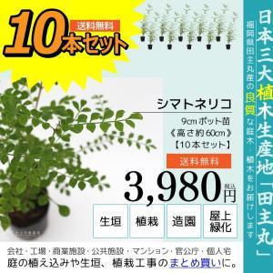 シマトネリコ 10本セット  9cmポット苗 ( 送料無料 ) 高さ約20cm|produce87