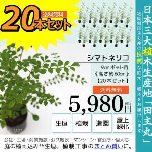 シマトネリコ 20本セット  9cmポット苗 ( 送料無料 ) 高さ約20cm|produce87
