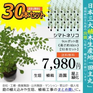 シマトネリコ 30本セット  9cmポット苗 ( 送料無料 ) 高さ約20cm|produce87