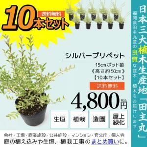 シルバープリペット 10本セット  15cmポット苗 ( 送料無料 ) 高さ約50cm|produce87