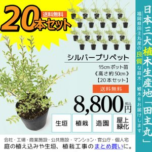 シルバープリペット 20本セット  15cmポット苗 ( 送料無料 ) 高さ約50cm|produce87