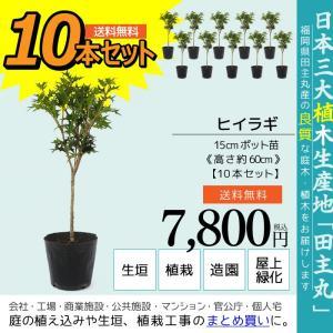 ヒイラギ 10本セット  15cmポット苗 ( 送料無料 ) 高さ約60cm|produce87