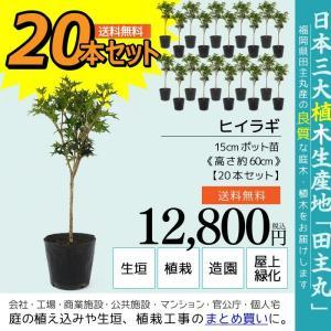 ヒイラギ 20本セット  15cmポット苗 ( 送料無料 ) 高さ約60cm|produce87