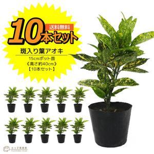 アオキ 斑入り葉 10本セット  15cmポット苗 ( 送料無料 ) 高さ約40cm|produce87