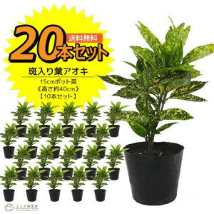 アオキ 斑入り葉 20本セット  15cmポット苗 ( 送料無料 ) 高さ約40cm|produce87