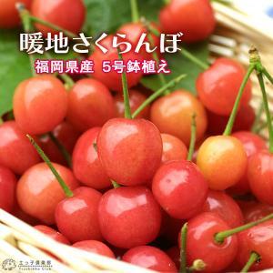 1本でなる 『 暖地さくらんぼ 』 5号鉢植え ( 今期収穫OK )