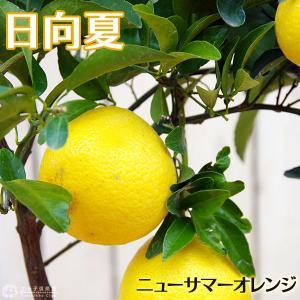 日向夏 ( ニューサマーオレンジ ) 接ぎ木 15cmポット苗