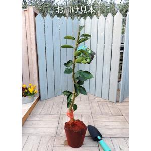 ライム(タヒチライム) 15cmポット接木苗の詳細画像3