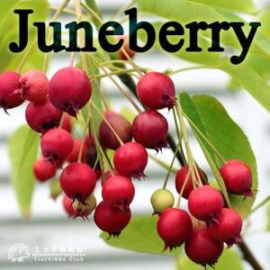 ジューンベリー ( 西洋ザイフリボク ) 8号鉢植え 株立ち大苗|produce87