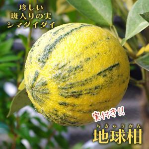 ( 実付き ) 地球柑 『 斑入ダイダイ 』 シマダイダイ 接ぎ木苗 6号鉢植え|produce87