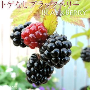 トゲなし ブラックベリー 『 ソーンフリー 』 9cmポット苗2個組|produce87