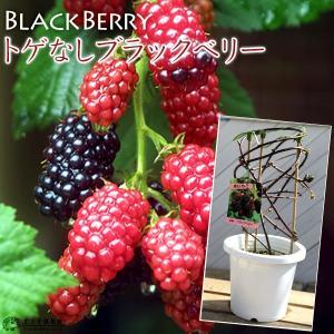 トゲなし ブラックベリー 『 ソーンフリー 』 6号鉢植え あんどん仕立て ( 今季収穫OK )|produce87